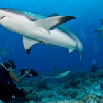 featured-roatan-sharks